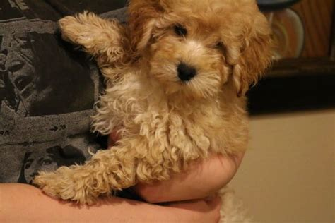 goldendoodle puppy for sale in california puppies for sale tiny goldendoodle micro mini