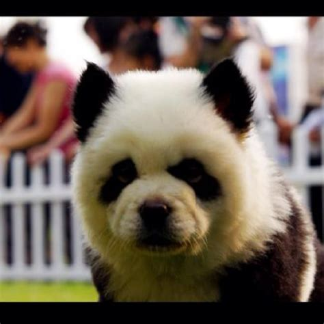 chow chow panda puppies chow chow panda it s a omg snugly things