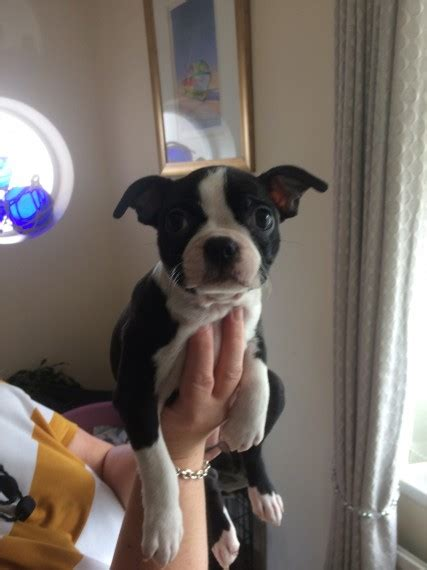 puppies for sale in ma 300 boston terrier puppies for sale massachusetts avenue ma 202414
