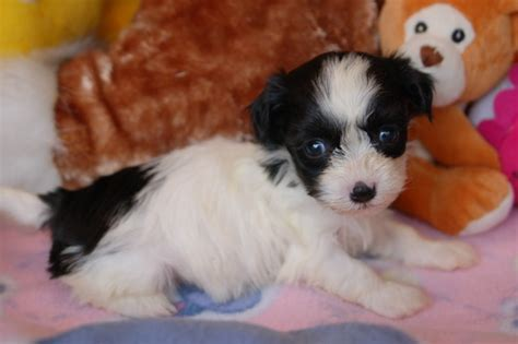 havanese puppies for sale nc havanese pictures royal flush havanese