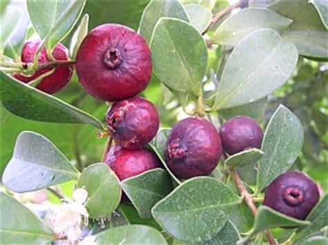 Bibit Pohon Buah Leci jual bibit buah tanaman hidup jambu leci serbabibit