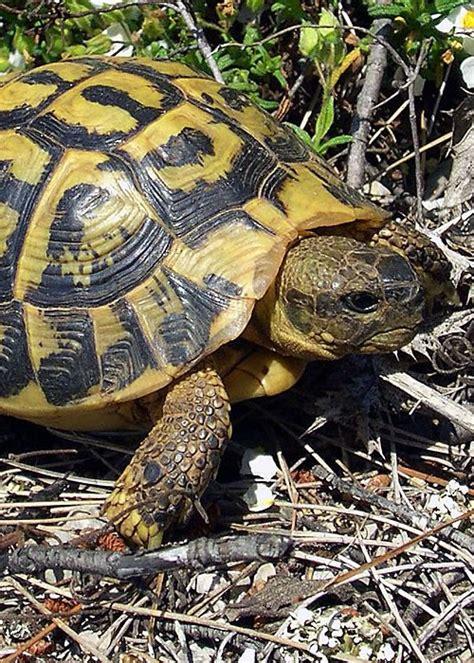 tartarughe da terra alimentazione tartarughe di terra consigli sulle testuggini
