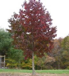 natural landscapes nursery sweet gum