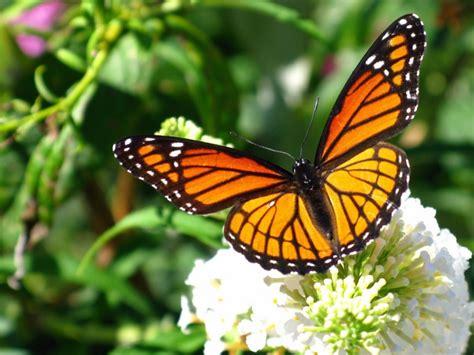 imagenes sobre mariposas mariposa monarca caracter 237 sticas qu 233 come d 243 nde vive