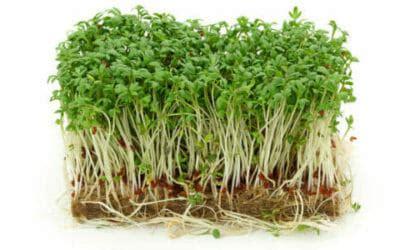 crescione in cucina propriet 224 terapeutiche crescione ed utilizzi in cucina