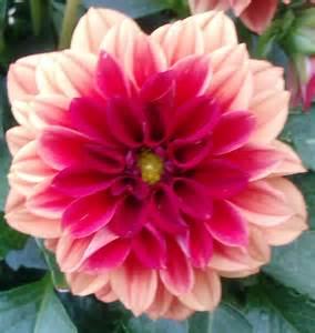 dahlia flower dahlia pinterest