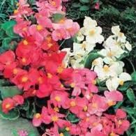 Benih Bibit Biji Bunga Begonia Summer Rainbow F2 Seeds Import benih begonia summer rainbow f2 gt 100 biji non retail