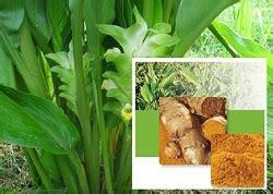Sabun Temulawak Kuning sabun temulawak khasiat dan manfaat sabun temulawak
