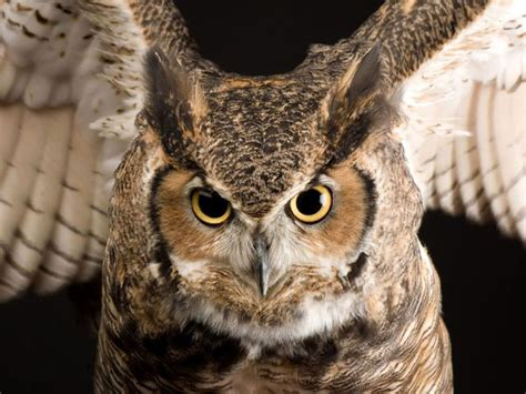 great horned owl pictures images photos images