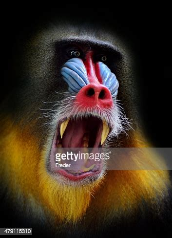screaming mandrill high res stock photo getty images
