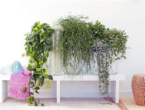 zimmerpflanzen ranken september 2016 h 228 ngende zimmerpflanzen zimmerpflanzen des