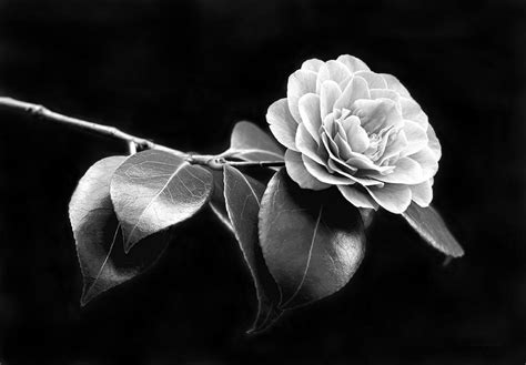 84 Shower Curtain Camellia Flower In Black And White Photograph By Jennie