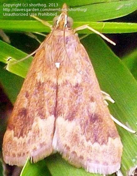 Garden Webworm by Bug Pictures Garden Webworm Moth Achyra Rantalis By C A Ivy