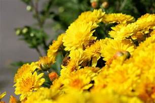 chrysanthemums when to plant mums the old farmer s almanac