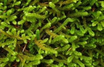how many types of mosses are there gray unlimited mosses liverworts