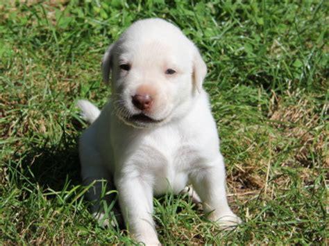 golden retriever puppies ottawa black labrador puppies ottawa dogs our friends photo