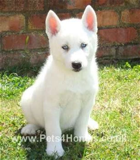 white husky puppy 17 best images about huskys on dire wolf husky puppies and siberian