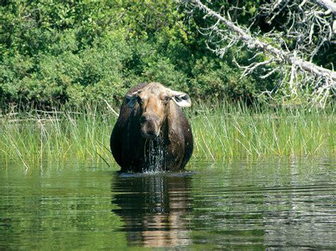isle royales wolves  moose  bloody balance lake