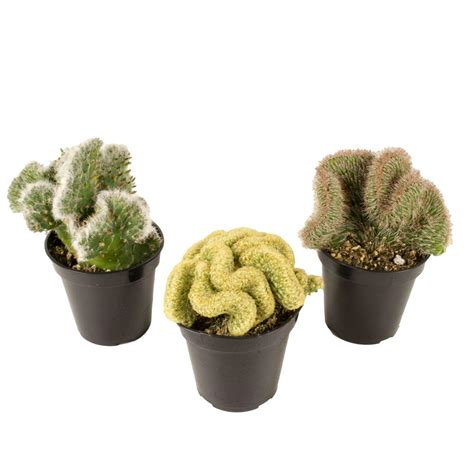 3 5 in assorted crested cactus 3 pack 0881026 the