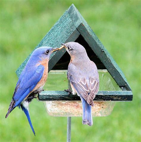 multi purpose cedar chalet bird feeder w stake at bluebird
