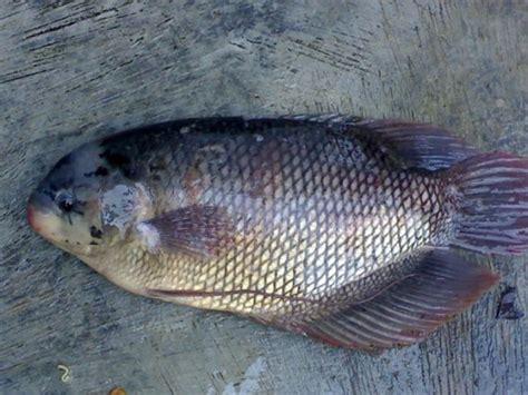 Bibit Gurami Medan sanitasi kolam dapat mencegah jamuran pada ikan gurami