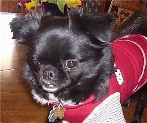 black pug chihuahua mix chug breed information and pictures