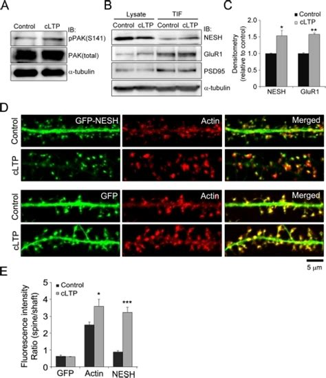 chemical induction of ltp pone 0034514 g006 f actin dependent regulation of nesh dynamics in rat hippocal neurons open i