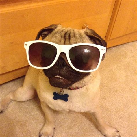 cutest funny pug pictures   time