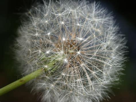 file taraxacum seed 1 jpg wikimedia commons