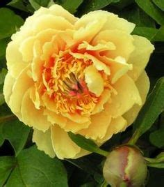 Kelways Peony Nursery by I Love My Itoh Peonies On Pinterest Peonies Kettle And