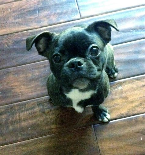 pug buggy 17 best ideas about bugg puppies on brindle pug baby pugs and pug puppies
