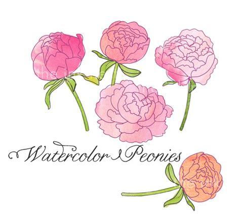 peony clipart clip peonies cliparts co