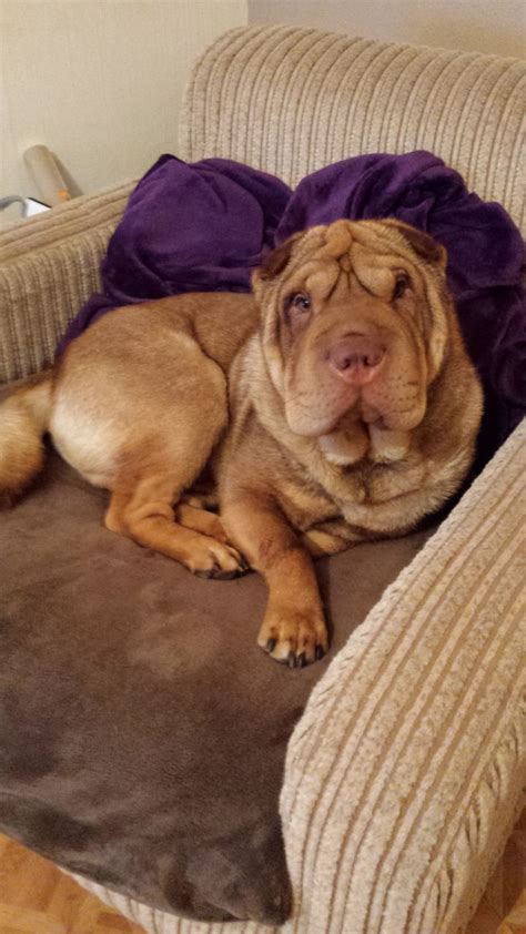 shar pei puppies for adoption shar pei looking for a loving home gravesend kent pets4homes