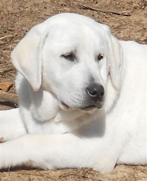 white labrador puppies for sale 17 best ideas about white labrador on white lab puppies labrador