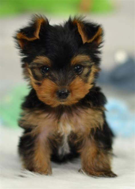 how to potty a teacup yorkie teacup yorkies for adoption in hoobly classifieds