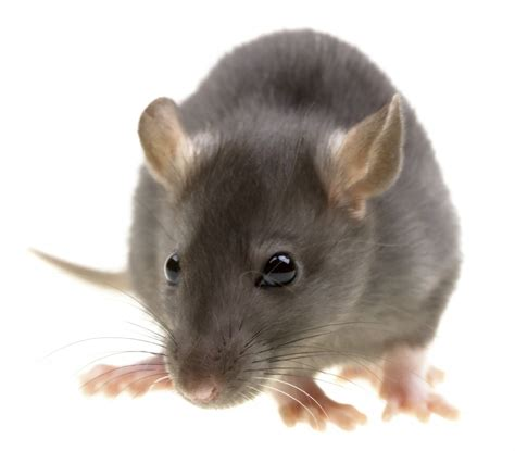 some interesting but strange facts about rats