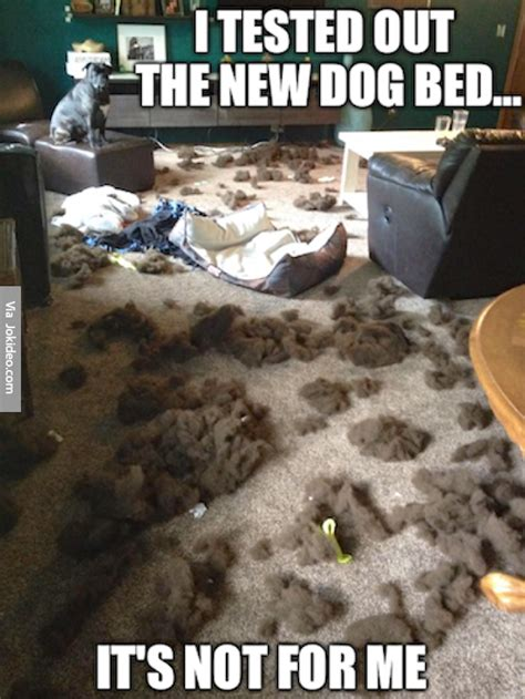 Dog In Bed Meme - i tested out the new dog bed dog meme jokes memes