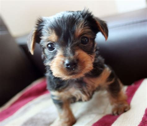 yorkie puppy pics small terrier puppies coventry west midlands pets4homes