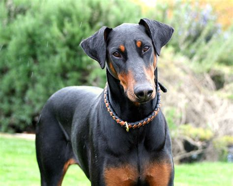 doberman pinscher doberman pinscher symbolism a message 187 spirit animal totems