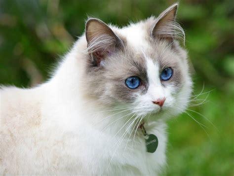 ragdoll que significa gato ragdoll lo nunca contado sobre el gatito que se cree