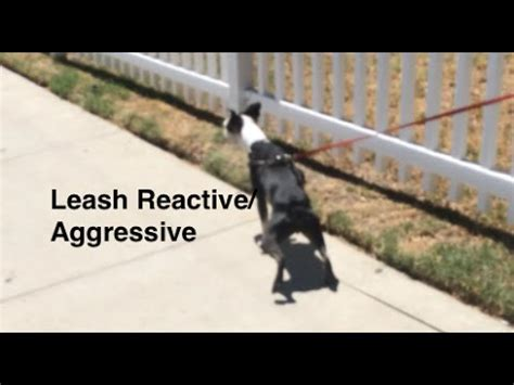 leash aggression in dogs collar grab for safety doovi