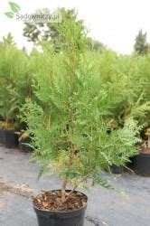 wann thujen setzen abendl 228 ndischer lebensbaum hoveyi