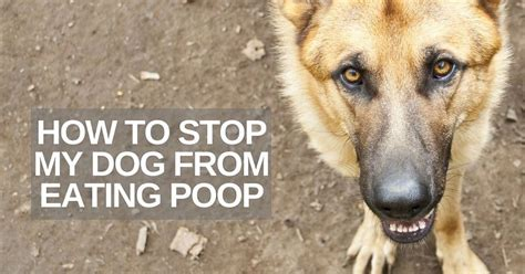 How To Stop My Dog From Eating Poop Thatmutt Com