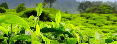 Teh Pucuk Agen manfaat minum teh hijau untuk kesehatan jantung obat