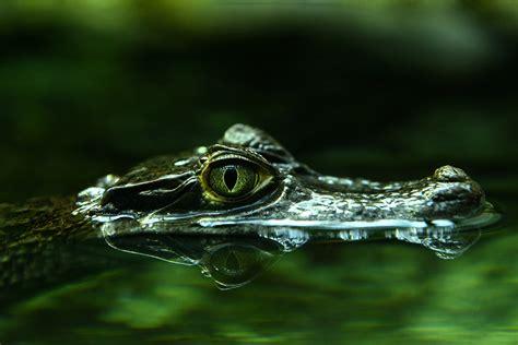 Im Wasser by Krokodil Im Wasser Foto Bild Tiere Wildlife