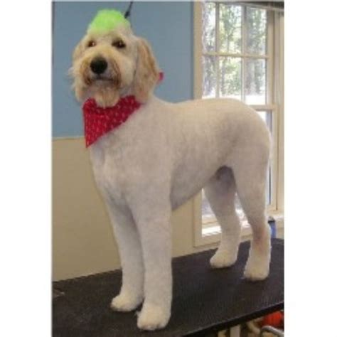 goldendoodle with mohawk paw metto pooches pet salon in bluffton south carolina