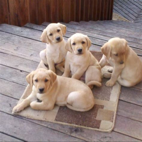 yellow lab puppies yellow lab puppies