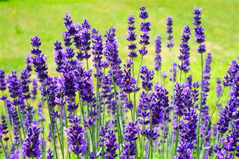 free stock photo of bloom blooming lavender flower