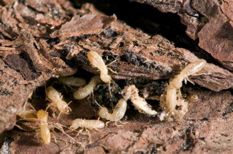 expertos en eliminar plagas de termitas expertos en