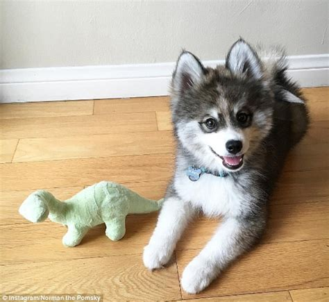 part husky part pomeranian meet this husky pomeranian mixed puppy can t get just how he is